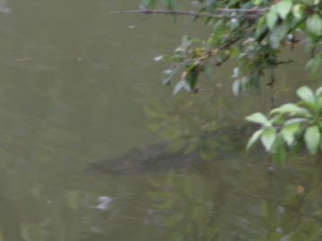 A pike just under the water. Could this be mistaken for the forquarters of a crocodilian