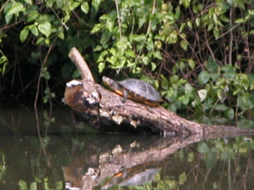 A naturaised colony of red eared terrapins exists in the area.